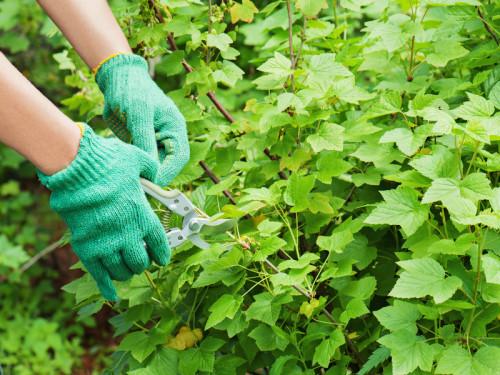 Hands with garden pruner in the garden.